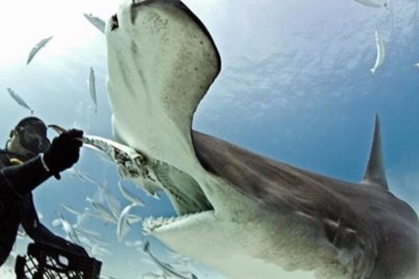 Hammerhead shark, Bimini