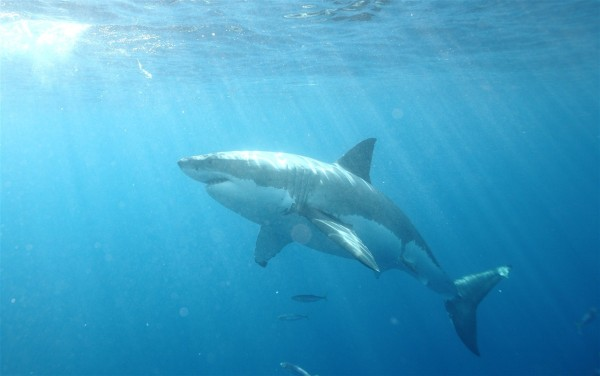 Great White Shark, Guadelupe, Mexico