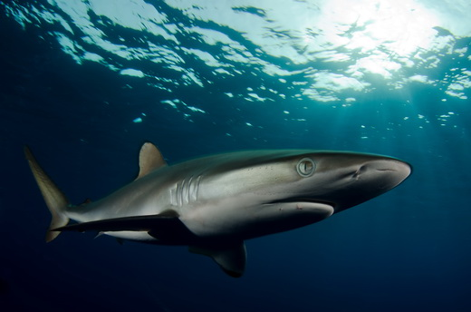 Sudan - Silk Shark