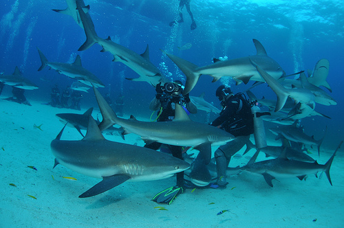 Shark feeding Bahamas
